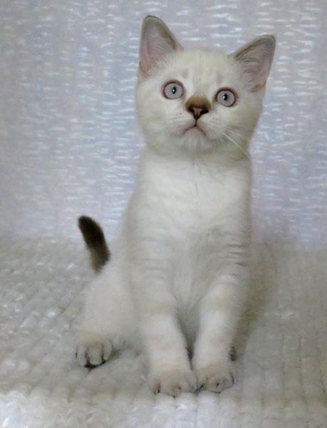 Британские котята купить в Одессе